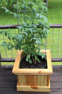 tomato bucket experiment