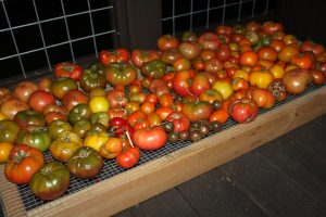 Some of our tomatoes that aren't quite ripe yet.