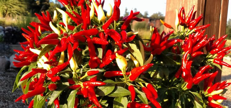 Growing Ornamental Peppers- The Most Versatile, Beautiful, Colorful and Durable Plants Ever!