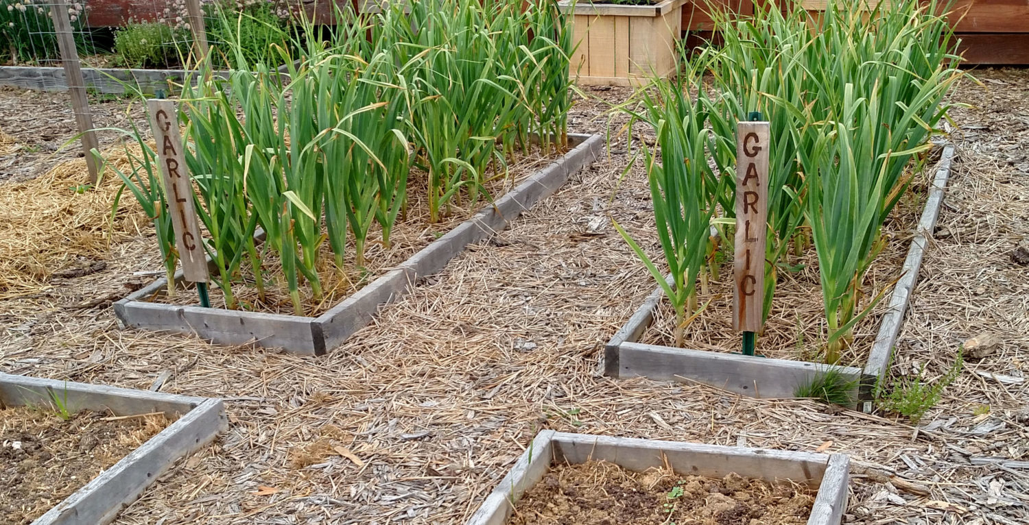 How To Grow Garlic This Fall - Simple Methods To A Great Crop