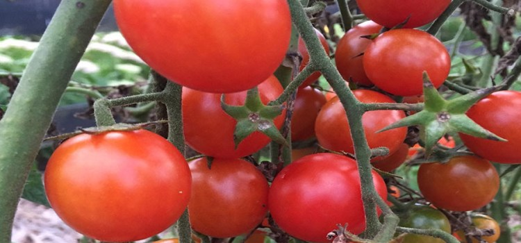 5 Great Ways To Use Cherry Tomatoes