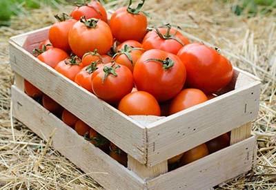 disease free tomatoes