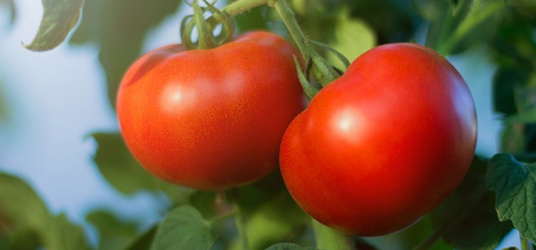 The Perfect Way To Plant Tomatoes – 5 Simple Steps To Success!