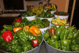 Last year was a banner year for peppers in our garden!