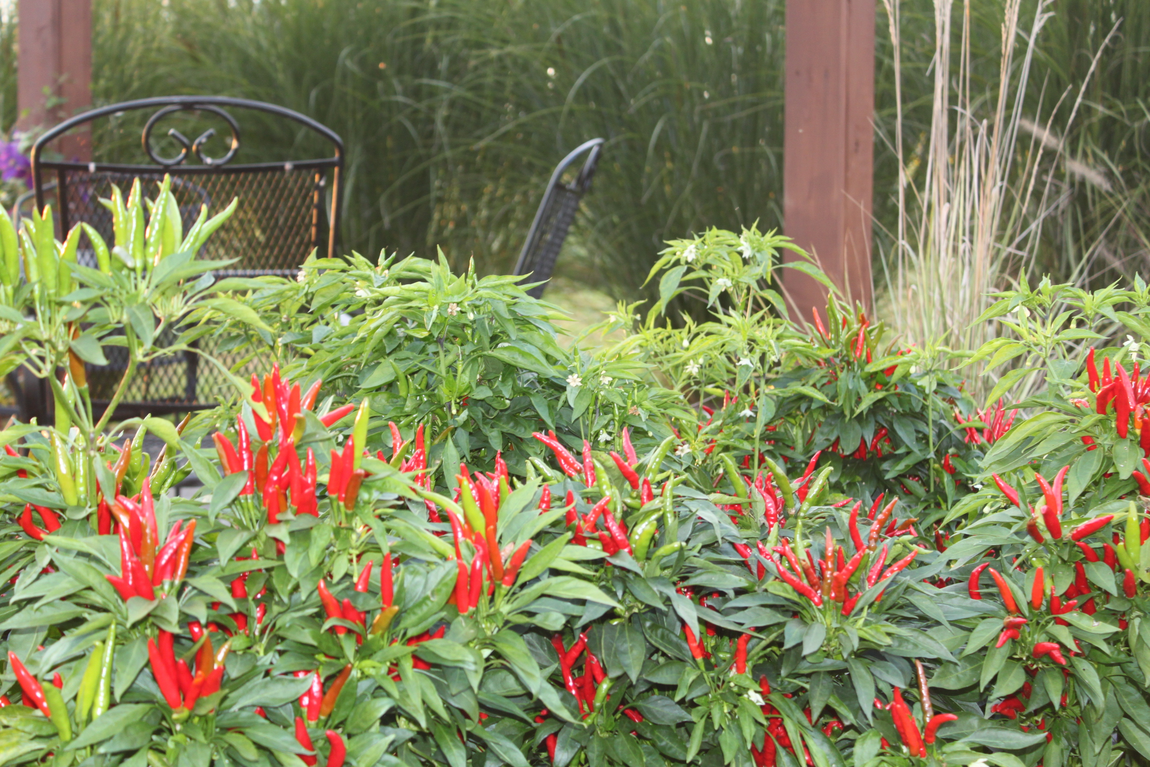 Ornamental peppers in the landscape spice up your flower for Ornamental landscaping