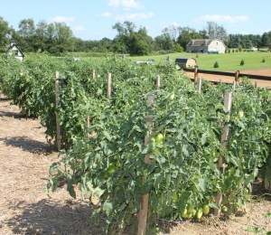 """Pruning up 6 to 8"""" under each plant helps with air flow, watering, and leads to more productive plants"""