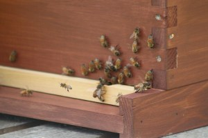 Bringing back pollen to the hive...if you look closely you can see the yellow pollen on the incoming bee