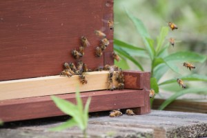 The entrance to the hive is reduced int he winter to keep out drafts and predators