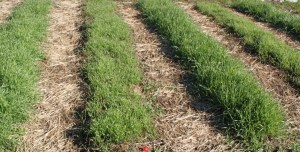 You can maximize your work load and resources by concentrating soil building efforts to the growing rows. Here - we only plant our annual rye cover crop into the raised rows - not wasting it in the walking paths.