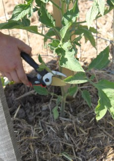 Be sure to use a sharp pair of cutters when pruning to avoid tearing the plant