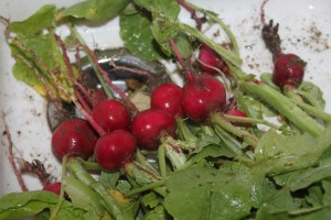 Garden radishes being washed immediately after picking.
