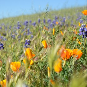 California Wild Flowers 2017