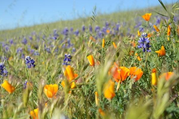 California Flower Fields 2017