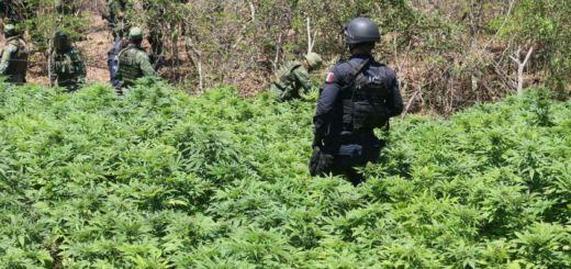 Tumban 4 plantíos de mariguana en Mazatlán