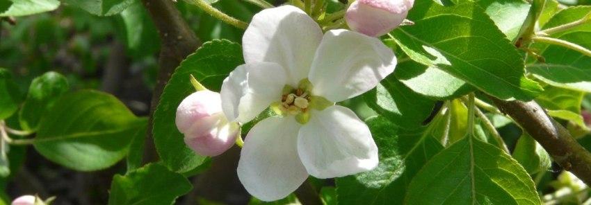 Дикая яблоня цветёт, Олег Чувакин, роман Американские тетради