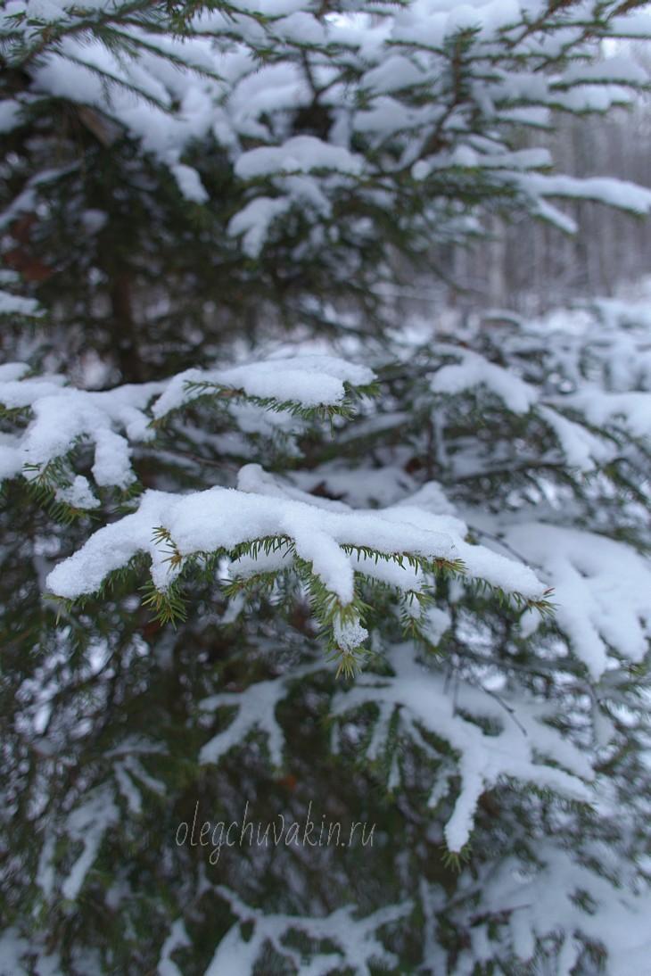Снег на еловых ветках, фото, Олег Чувакин, 2