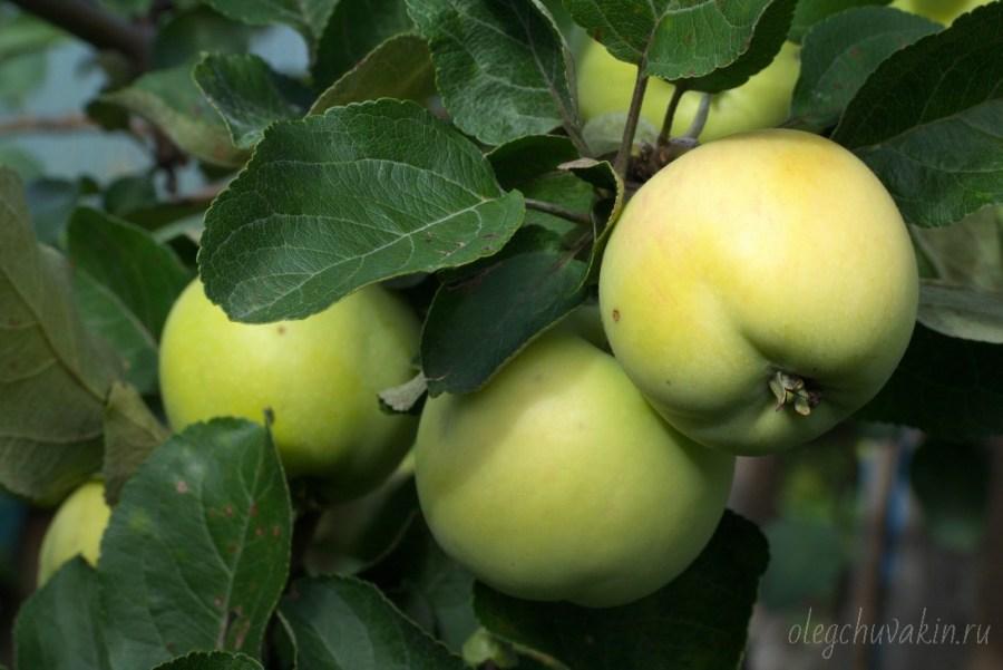 Яблоки в саду крупным планом