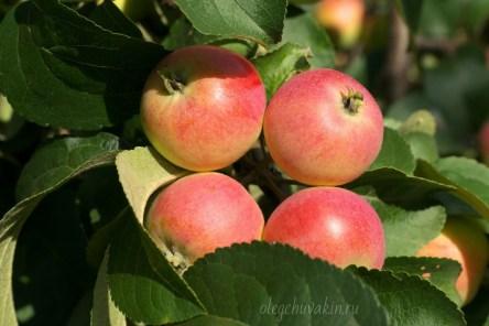 Яблочная история