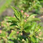 Зацветающая яблоня, май, фото, Олег Чувакин