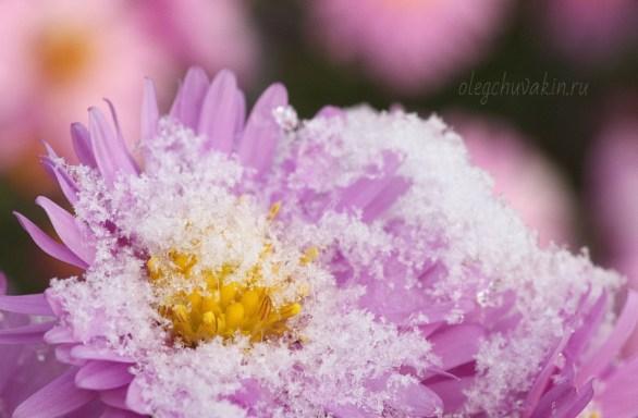 Первый снег, сентябрины, фото, макро