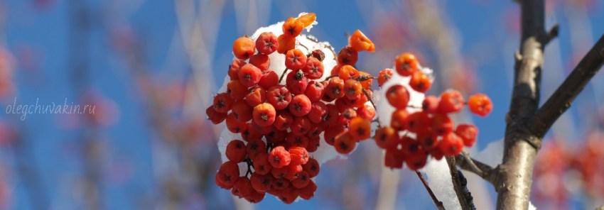 Рябина, зима, фото, Смех сквозь слезы, Олег Чувакин, смерть русского языка, смерть литературы