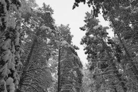 Зима, январь, сосны, снег, фото, Олег Чувакин