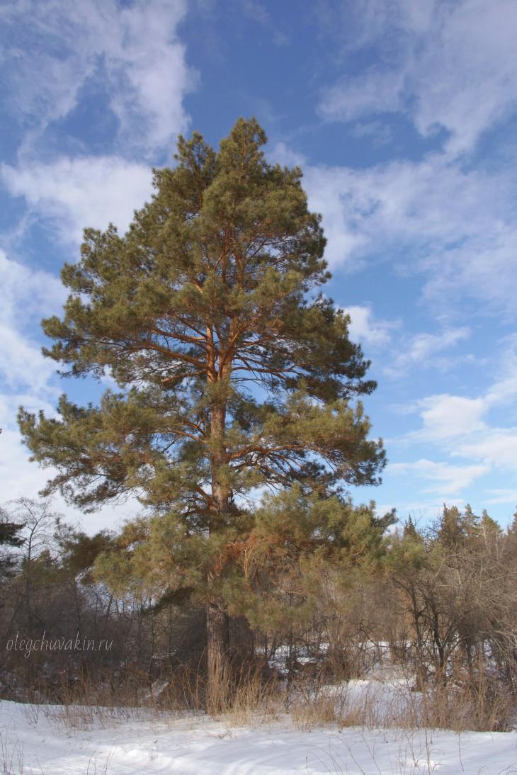 Одинокая сосна, весеннее небо, фото, Олег Чувакин
