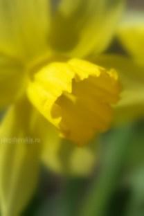 """Нарцисс, фото, галерея """"Жёлтое и красное"""""""