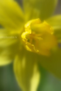 """Нарцисс, фото, макро, галерея """"Жёлтое и красное"""""""