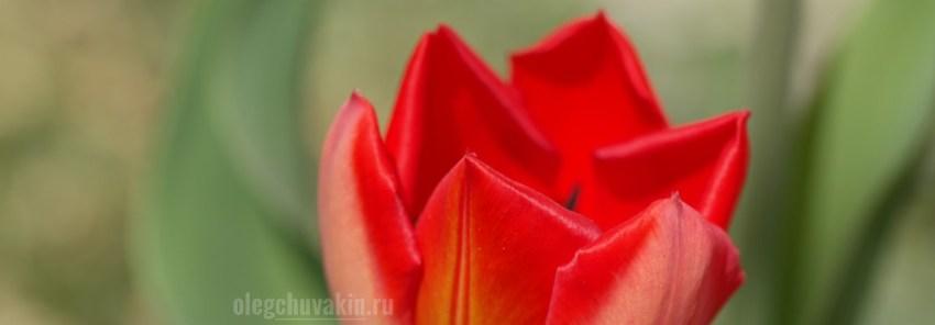 Красный тюльпан, фото, Спляши на их могилах, плагиат, автор, рассказ, Олег Чувакин