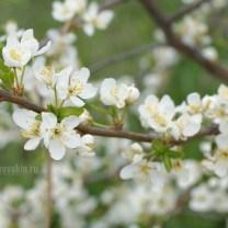 Цветущая слива, белые цветы, сад, май, фото
