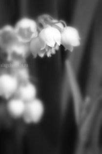 Ландыши майские, фото