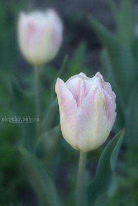 Тюльпаны, фото, майское утро