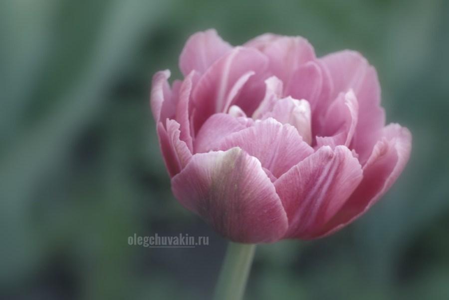 Тюльпан, фото, макро, май