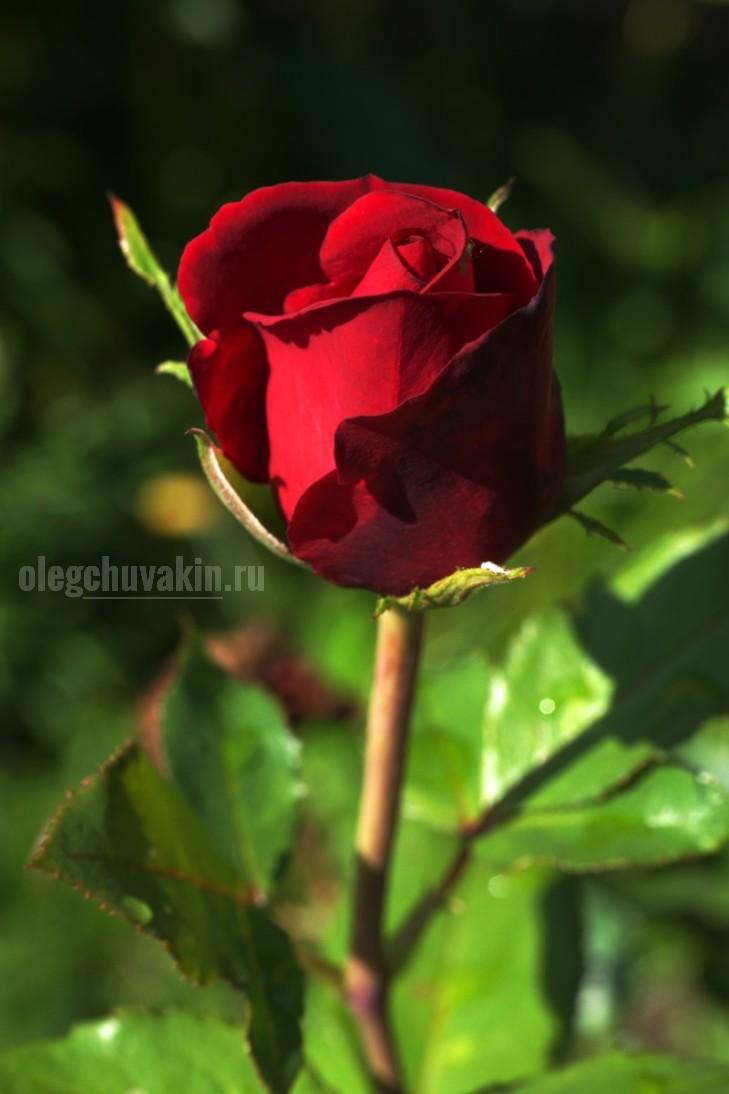 Роза моим читателям, Олег Чувакин, писательский день рождения, 1 августа