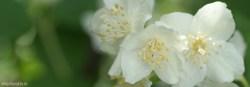 Philadelphus, чубушник, фото, макро, лето, июнь