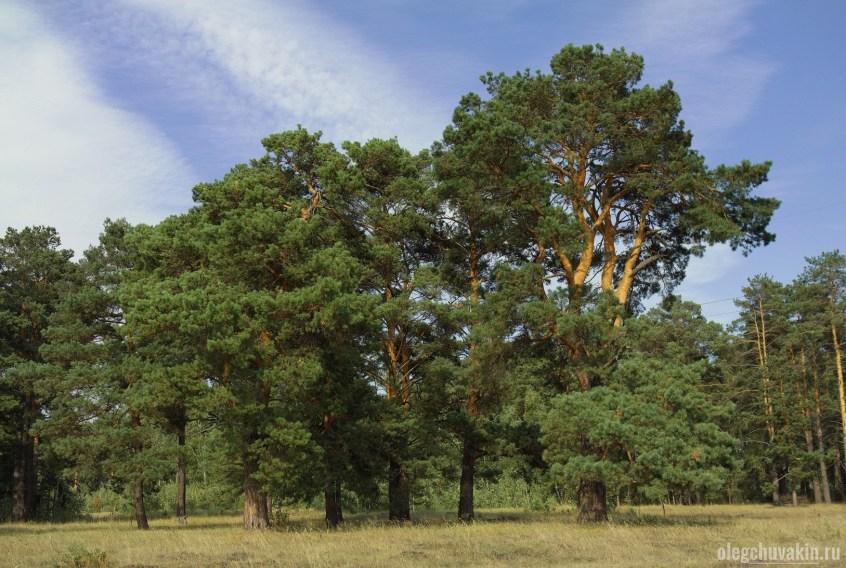 Сосновый лес, бор, лето, фото