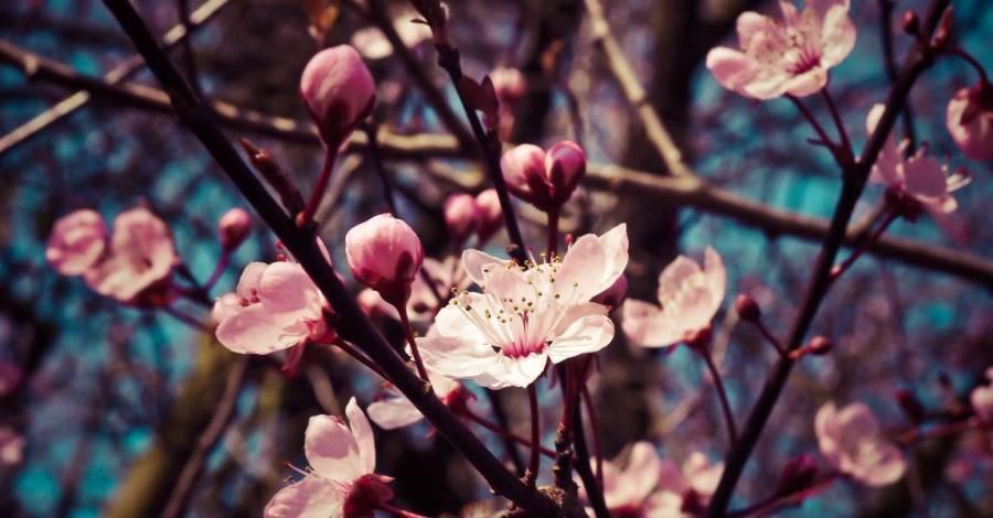 Сакура, цветущая, лепестки, солнце, рассказ