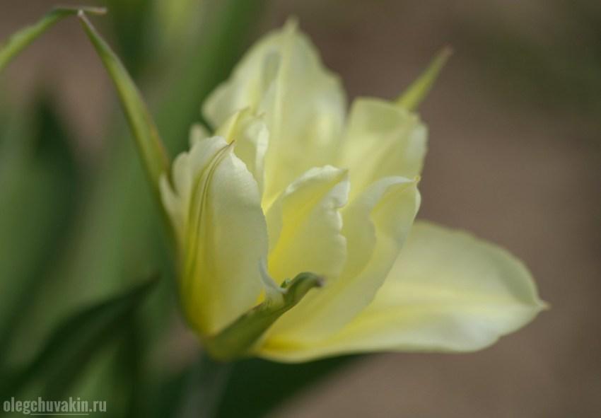 Тюльпан, нежность, весна, фото