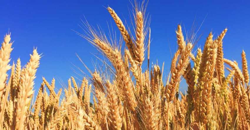 Пшеница, колосья, колосится, поле, хлеб, фото