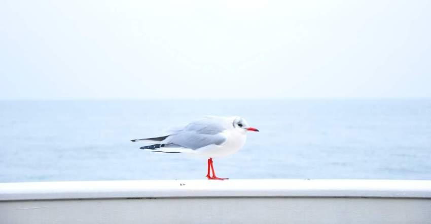 Чайка, море, Балтика, фото