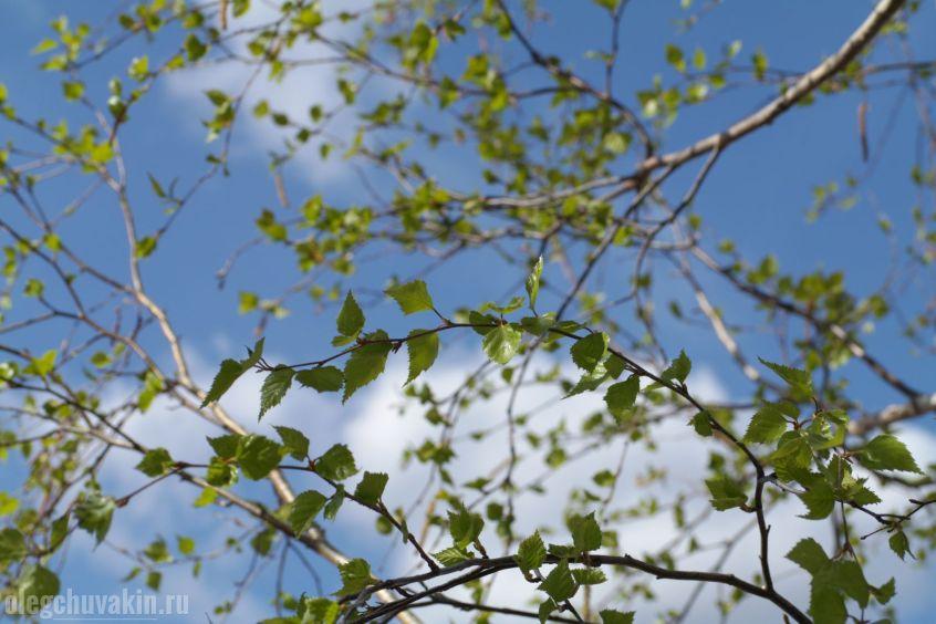Берёза, листочки, листья, май, на фоне неба, фото