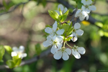 Цветки сливы, макро, фото