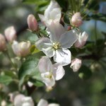 Яблоня цветёт, сад, май, фотография