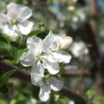 Садовая яблоня, цвет, красивое фото