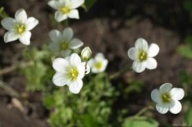 Цветки камнеломки, цветущая камнеломка, фото