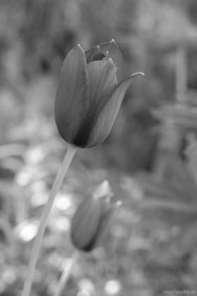 Красный тюльпан, чёрно-белое фото
