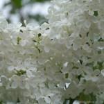 Белая сирень, фото, крупный план, июнь