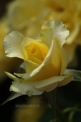 Распускающаяся роза, жёлтая роза, фото