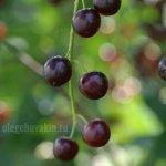 Гроздь, черёмуха, ягоды, фото